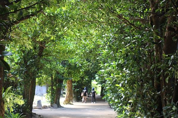 備瀬のフクギ並木、緑のトンネルの写真