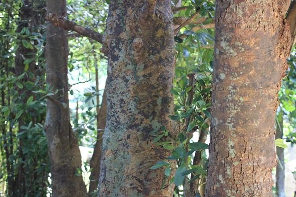 備瀬のフクギ並木にある大きく育ったフクギの木、幹の様子の写真
