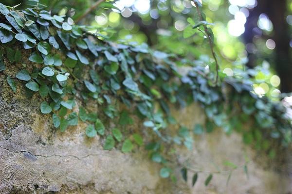 備瀬のイノーの砂岩で作られた屋敷の壁のアップ写真、植物がはってる様子