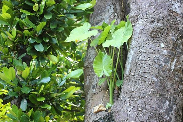 備瀬のフクギの並木道、大きなフクギの木に寄生してるクワズイモの写真