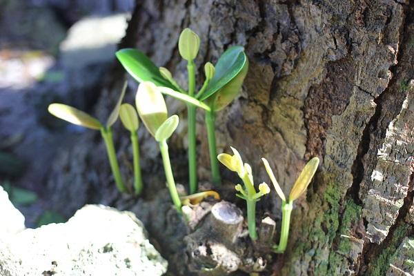 備瀬のフクギの木の根元、小さな芽がたくさん出て来てる様子の写真