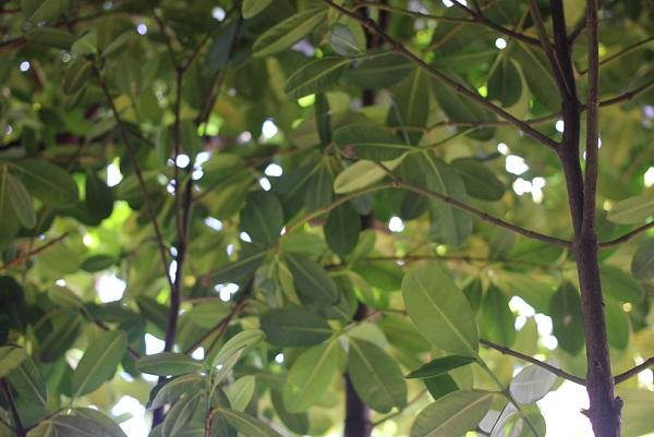 備瀬のフクギ、葉かと木漏れ日の様子の写真