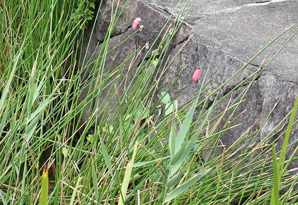 池の石垣で見かけたジャンボタニシの卵の写真