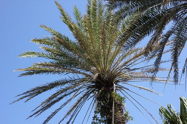 公園の大きな椰子の木の写真