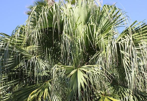 公園に植えられていたシュロの木の写真