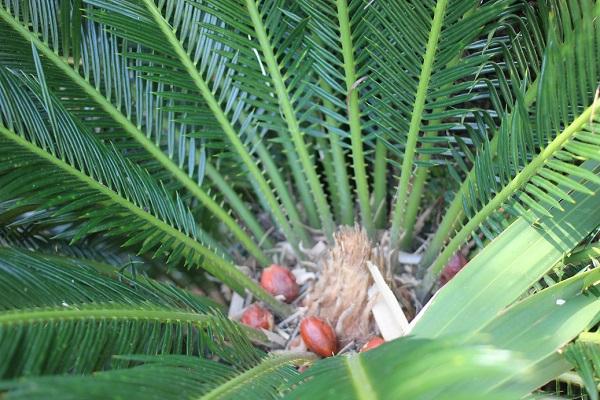 青々と生い茂る葉の中のソテツの雌花が枯れた様子と、実が残ってる様子の写真