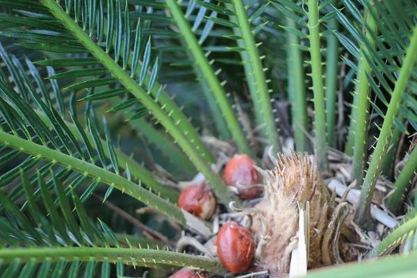 ソテツの雌花が枯れてた後、取り残されてる数個のソテツの実の写真