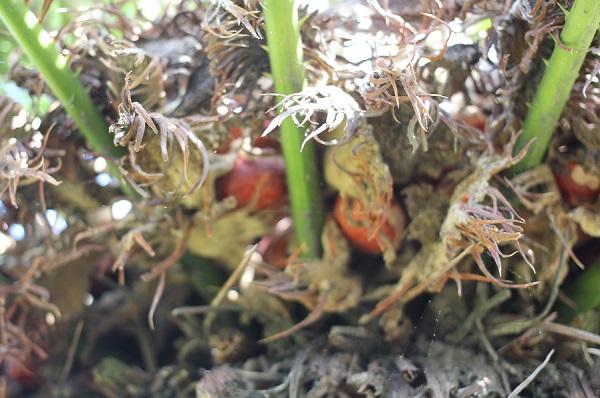 ソテツの雌花が枯れ始め、赤い実がこぼれ落ちそうになっている写真