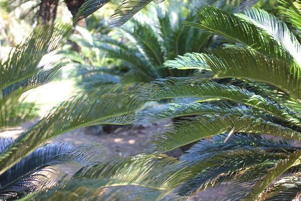 蘇鉄の葉のアップ写真