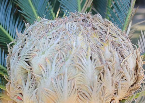 多数の大胞子葉をつけて丸まってるソテツの雌花のアップ写真