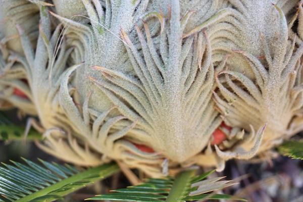 ドーム状のソテツの雌花の下の部分、赤いソテツの実が見える様子の写真
