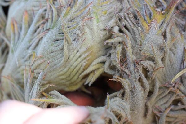 ソテツの雌花の大胞子葉をそっと開いてみた写真、中に赤い実がはいってる様子