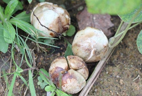ハマユウの種、地面に落ちてるもの3つの写真