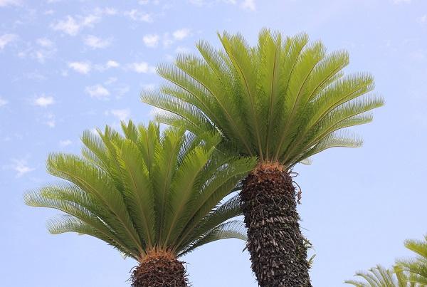 きれいなソテツの木の写真
