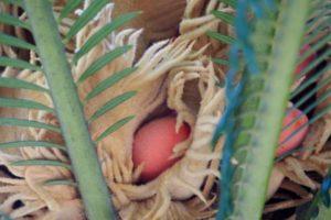ソテツの花の中にある赤い実の写真