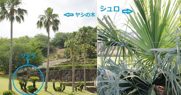 ヤシの木、ソテツの木、シュロの木の写真、違いをわかりやすく