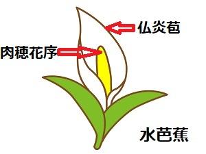 ミズバショウのイラストと、肉穂花序と仏炎苞の説明