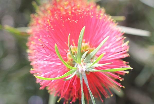 ブラシの花、縦から見てみた写真