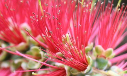 ブラシの木の花の中の様子、アップ写真