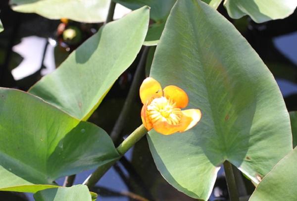 池に咲いてる黄色のコウボネの写真