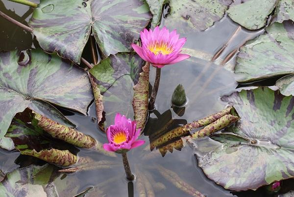 熱帯性スイレンの花と葉の様子の写真(イブリン ランディグ)