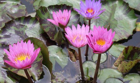 池に咲く鮮やかな熱帯性スイレンの花の写真