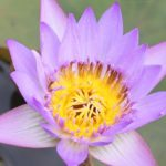 スイレン園に咲いていた紫色の熱帯性スイレンの花の写真