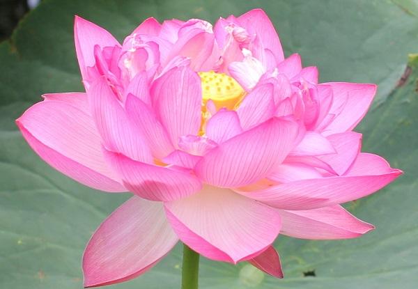 蓮池に咲いていた美しいピンクのハスの写真