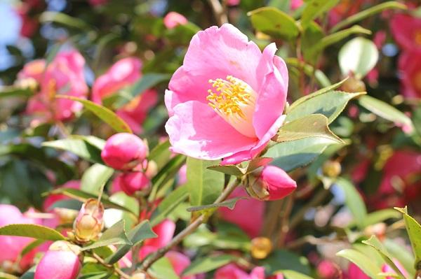 美しく咲き誇るピンクの日本の椿の写真