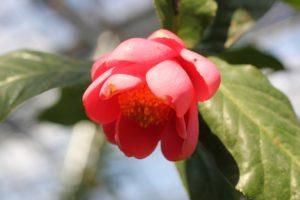 ピクエチアーナの花の写真