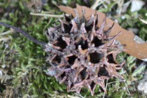 落ちていたモミジバフウの茶色い実の写真