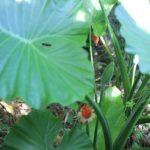 沖縄で見かけた大きなクワズイモの葉と実の写真