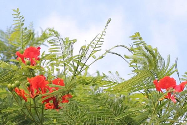 大きなオオゴチョウの木に咲いてる花と葉の写真