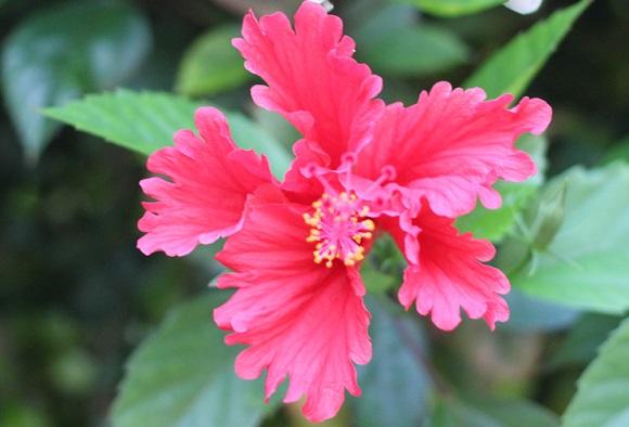 沖縄で見かけたハイビスカスの花の写真