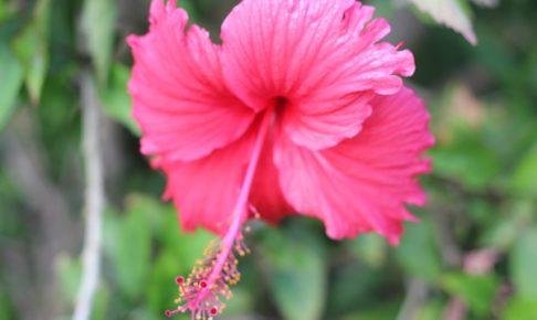 沖縄で見かけたショッキングピンクのハイビスカスの写真