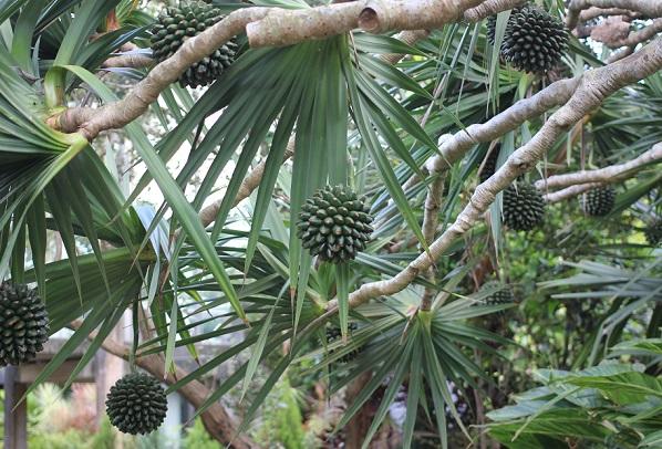 沖縄の植物園にあったドリアンの木と実の写真