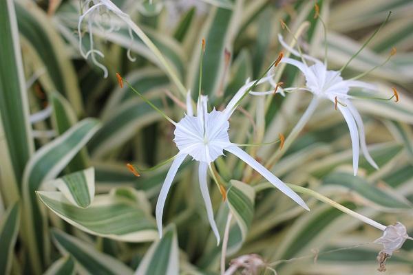 斑入り派のスパイダーリリー(ヒメノカリス)の花、葉の写真