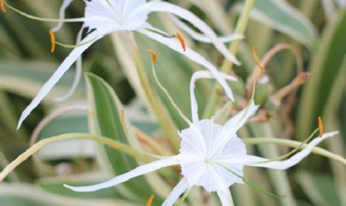 スパイダーリリー(ヒメノカリス)の花の写真