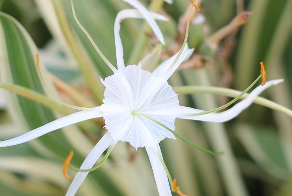 スパイダーリリー(ヒメノカリス)の花、アップ写真