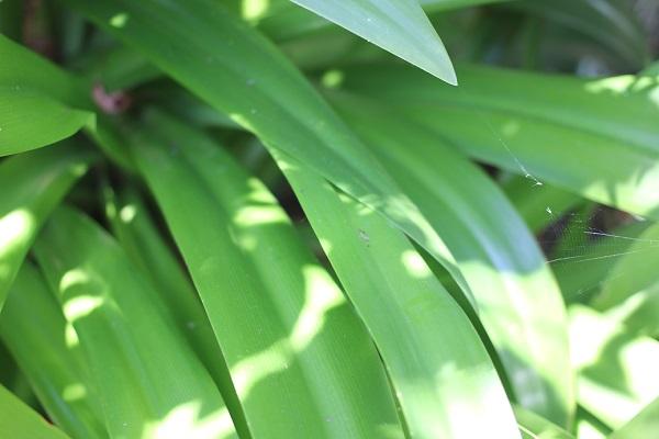 スパイダーリリー(ヒメノカリス)の葉の写真