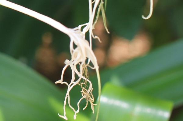 スパイダーリリー(ヒメノカリス)の花が枯れてた様子の写真