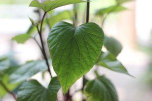 水栽培しているサトイモの葉の写真