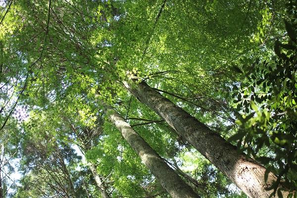 ソーメン流しの席から見上げた景色、大きな木がたくさんある様子の写真