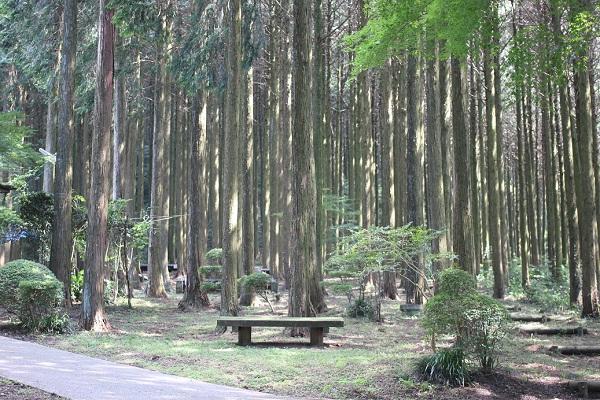 みずほの森キャンプ場、杉並木とベンチがある様子の写真