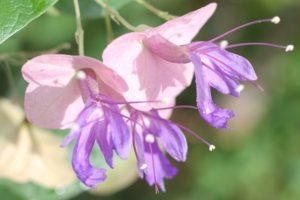 チャイニーズハットの花のアップ写真