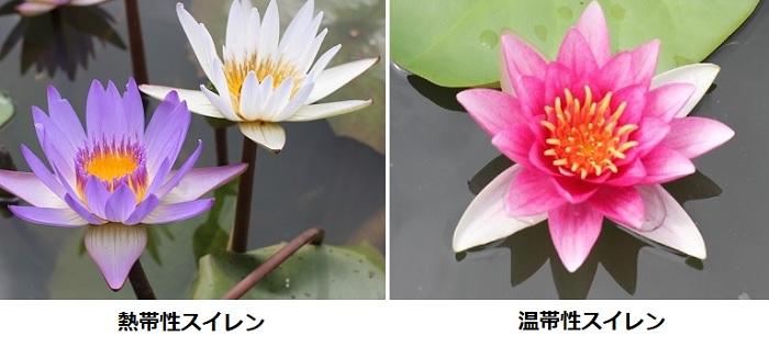 白と紫の熱帯性スイレンの花とピンクの温帯性スイレンの写真