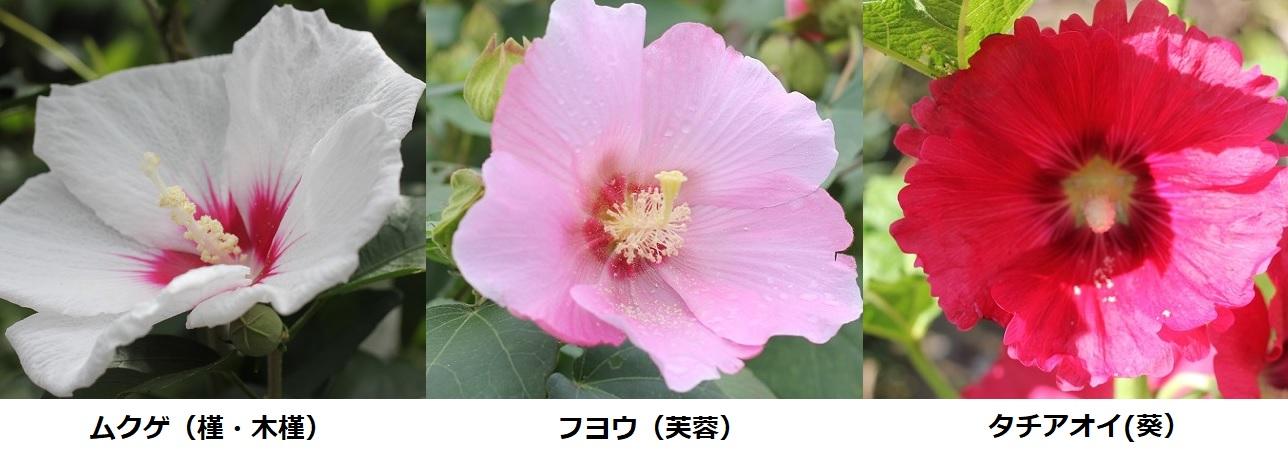 ムクゲ(槿 木槿)・フヨウ(芙蓉)・タチアオイ(葵)の花の写真(比較)