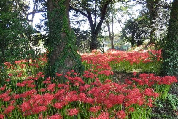 七ツ森古墳群に咲く満開の 彼岸花の写真