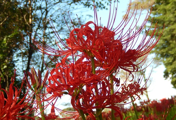 七つ森古墳群、真っ赤に咲き誇る美しい彼岸花の写真