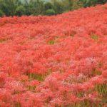 琴海、真っ赤な咲き乱れる彼岸花畑の写真